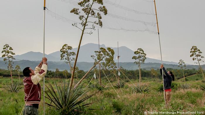 Un agricultor ocupándose de plantas de agave.