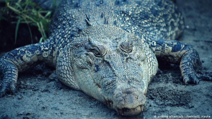 Crocodile Crocodylus porosus (picture-alliance/blickwinkel/J. Hauke)
