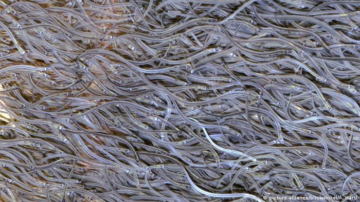 European eels in their glass eel stage