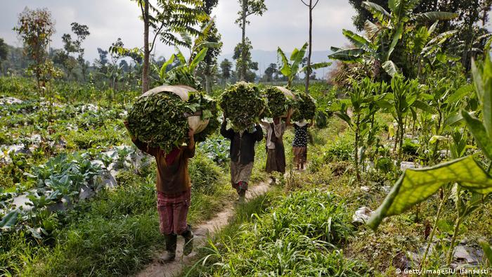 Indonesien Java Tabakanbau (Getty Images/U. Ifansasti)