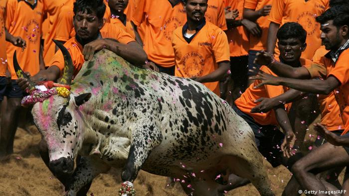 Indien Jallikattu (Getty Images/AFP)