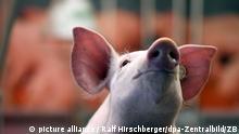 Ein Schwein, aufgenommen am 18.01.2017 in einer Halle auf dem Messegelände in Berlin. Partnerland der diesjährigen Grünen Woche ist Ungarn. Bei der Internationalen Grünen Woche in Berlin vom 20. bis 29. Januar erwarten die Besucher etwa 100.000 Nahrungs- und Genussmittel. Zur 82. Auflage sind wieder mehr als 1.600 Anbieter aus rund 65 Ländern dabei. Foto: Ralf Hirschberger/dpa-Zentralbild/ZB | Verwendung weltweit
