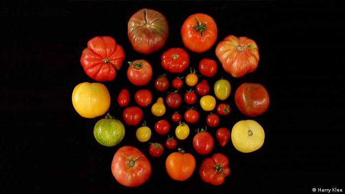 University of Florida - Tomaten (Harry Klee)