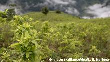 epa05419978 A coca crop near the municipality of Briceno, north Antioquia, Colombia, 10 July 2016. The Colombian Post-Conflict Minister Rafael Pardo presented a pilot project to voluntarily substitute illicit crops in the region. EPA/LUIS EDUARDO NORIEGA +++(c) dpa - Bildfunk+++ |