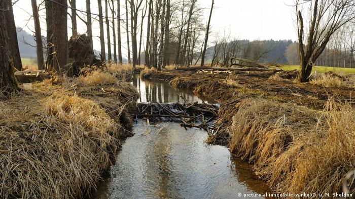 A beaver dam in Germany (picture-alliance/blickwinkel/D. u. M. Sheldon)