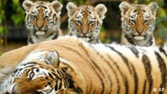 Female offspring of a tiger inherit parts of their mother's home range
