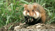 Feldhamster Europäischer Hamster