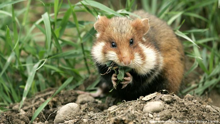 European common hamster eating leaves (picture-alliance/Mary Evans Picture Library)