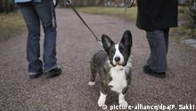 Hund Cardigan Welsh Corgi