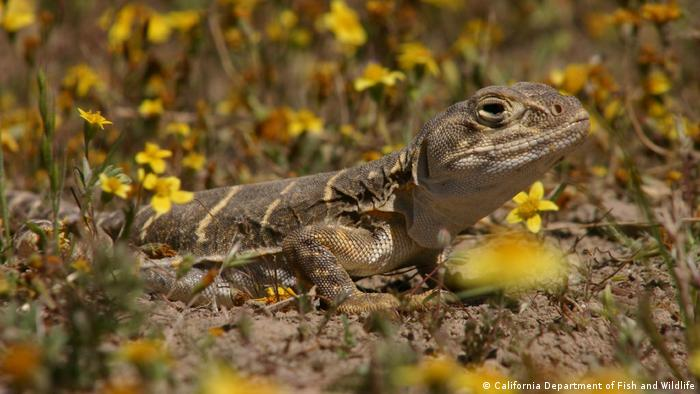 Blunt-nosed leopard lizard - Gambelia sila (California Department of Fish and Wildlife)