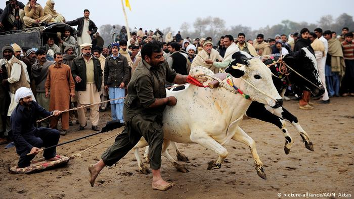 Pakistan Bullenrennen in Fateh Jang (picture-alliance/AA/M. Aktas)