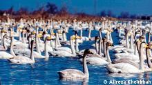 Title: Die Schwäne in Sorkhroud Bildbeschreibung: Die Schwäne sind eine Tribus der Entenvögel. Innerhalb dieser Familie werden sie den Gänsen zugerechnet. Schwäne sind die größten aller Entenvögel. Stichwörter: UGC, Schwäne, Sorkhroud, Iran, Alireza Kheirkhah Quelle: Alireza Kheirkhah