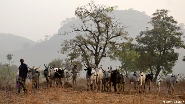 Fulani herdsmen and their cattle under a cluster of trees in Nigeria (DW/K. Gänsler)