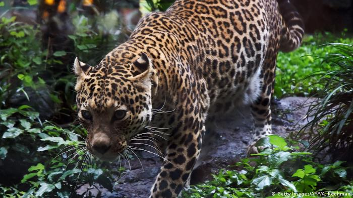 Indonesien Java Leopard im Zoo (Getty Images/AFP/A. Rochman)