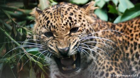 A leopard growls