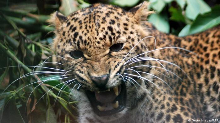 Indonesien Java Leopard Auswilderung (Getty Images/AFP)