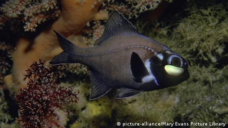 Flashlight fish (picture-alliance/Mary Evans Picture Library)