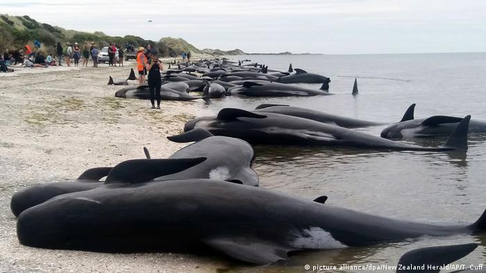 مرگ دستهجمعی نهنگها در سواحل نیوزلند