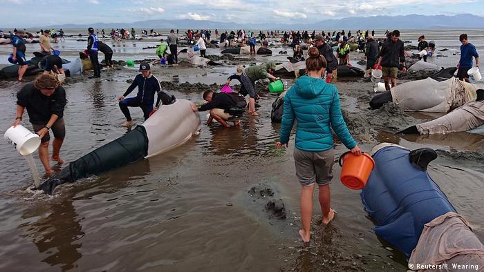 Neuseeland Hunderte Grindwale gestrandet (Reuters/R. Wearing )