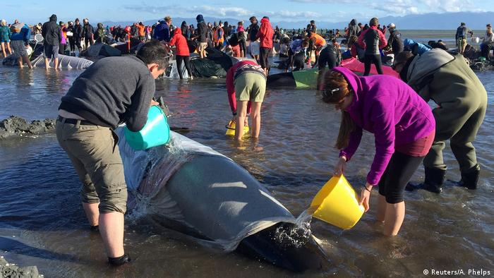 Neuseeland Hunderte Grindwale gestrandet (Reuters/A. Phelps)