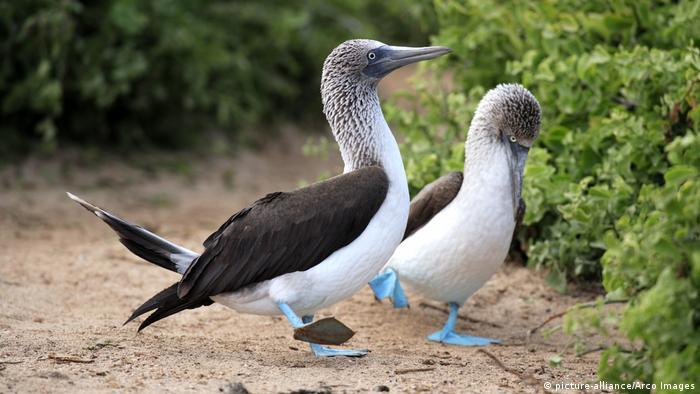 Two blue-footed booby in the Galapagos Island (picture-alliance/Arco Images)