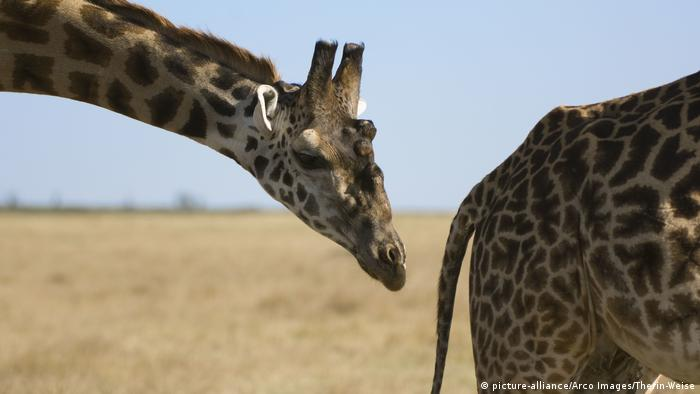 A couple of giraffes during the courtship process (picture-alliance/Arco Images/Therin-Weise)