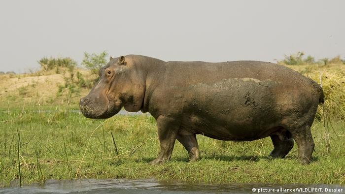 Hippo scattering dung to mark its territory (picture-alliance/WILDLIFE/T. Dessler)