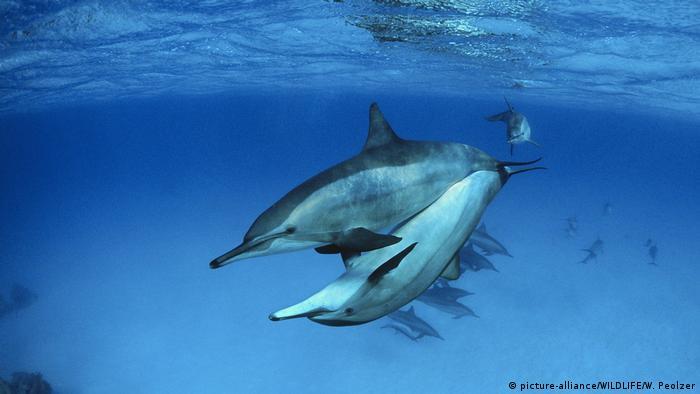 Sepasang lumba-lumba