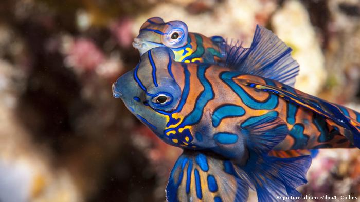 Mandarin fish mating (picture-alliance/dpa/L. Collins)