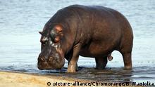 Paarung und Balzverhalten bei Tieren Nilpferd (picture-alliance/Chromorange/B. Wasiolka)