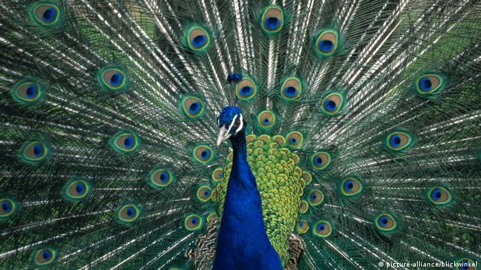 Peacock's colorful tail (picture-alliance/blickwinkel)