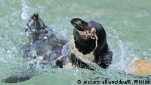 Ein Humboldtpinguin schwimmt am Montag (13.10.2008) in seinem Gehege im Luisenpark in Mannheim. Der Humboldtpinguin ist eine von den weltweit insgesamt 17 Pinguinarten. Er gehört zusammen mit Galapagos-, Magellan- und Brillenpinguin der Gattung Brillenpinguine an. Foto: Ronald Wittek dpa/lsw +++(c) dpa - Report+++ | Verwendung weltweit