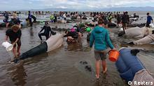 Volunteers try to keep alive some of the hundreds of stranded pilot whales after one of the country's largest recorded mass whale strandings, in Golden Bay, at the top of New Zealand's South Island, February 10, 2017. REUTERS/Ross Wearing ATTENTION EDITORS - EDITORIAL USE ONLY. NO RESALES. NO ARCHIVE. NEW ZEALAND OUT. NO COMMERCIAL OR EDITORIAL SALES IN NEW ZEALAND.