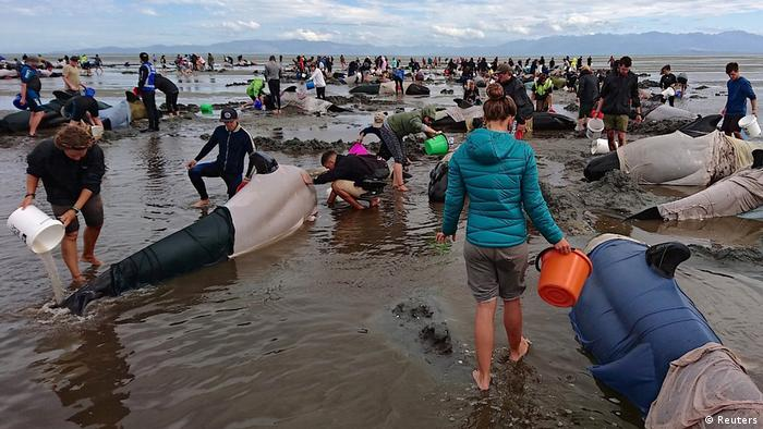 People trying to save pilot whales stranded in New Zealand