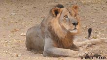 Borno - Löwe im Zoo von Maiduguri