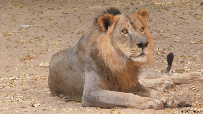 Borno - Löwe im Zoo von Maiduguri (DW/T. Mösch)