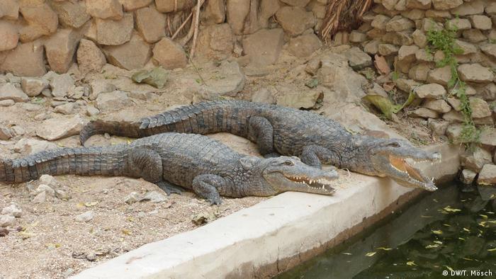 Borno - Krokodile im Zoo von Maiduguri (DW/T. Mösch)