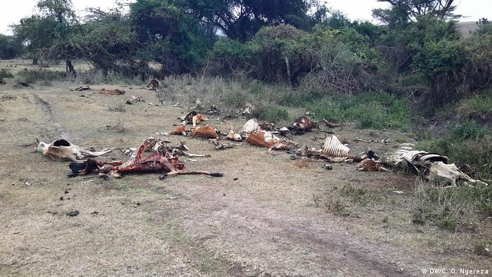 Dead cattle from drought