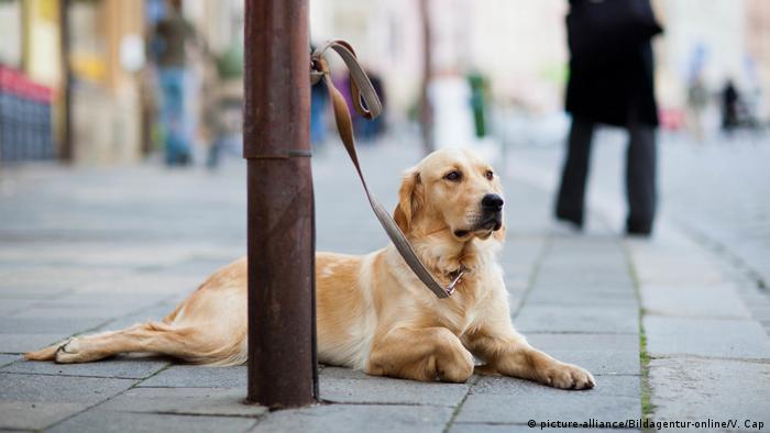 Hund Golden Retriever (picture-alliance/Bildagentur-online/V. Cap)