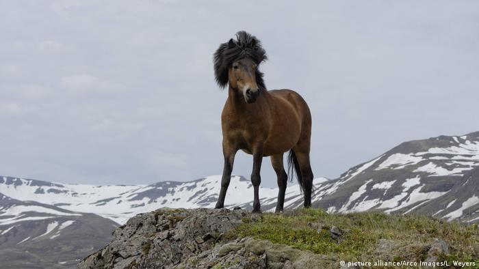 Island Islandpony (picture alliance/Arco Images/L. Weyers)