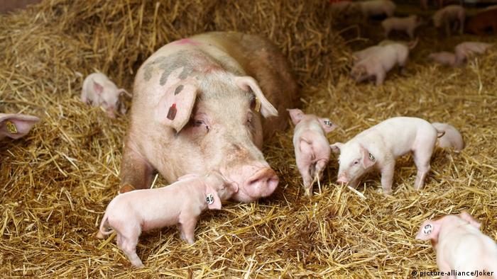 Öko Schweinezucht