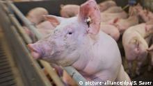 Schweinemast Maststall konventionell