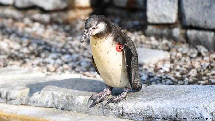 Humboldt-Pinguin (picture-alliance/dpa/U. Anspach)