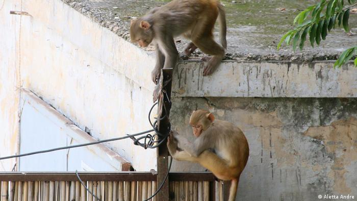 Rhesus monkeys scaling a wall in central Delhi (Aletta Andre)