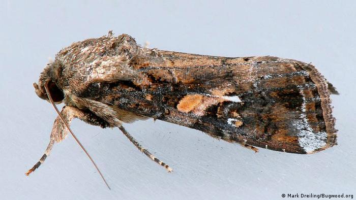 BG Heerwurm - Adult (Mark Dreiling/Bugwood.org)