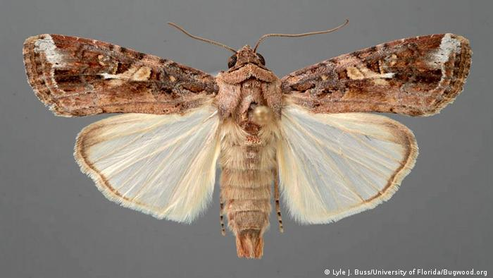 BG Heerwurm - Adult (Lyle J. Buss/University of Florida/Bugwood.org )