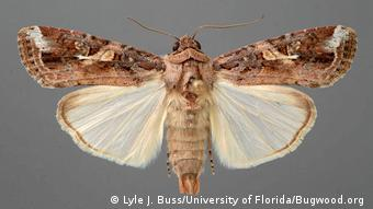 BG Heerwurm - Adult (Lyle J. Buss/University of Florida/Bugwood.org )