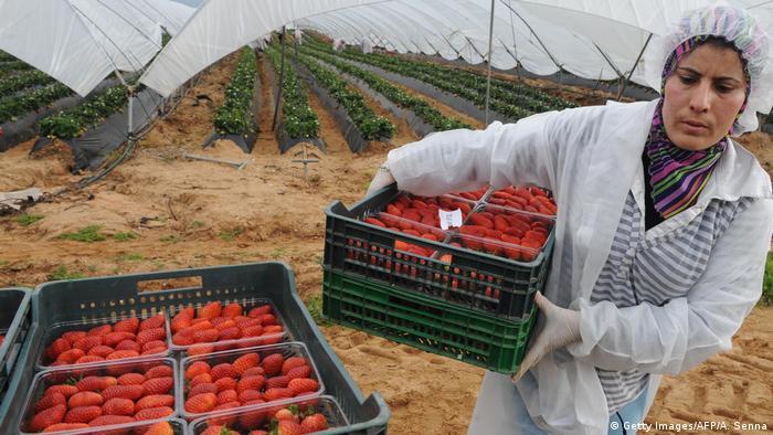 Marokko Saisonarbeiter auf einem Erdbeerfeld