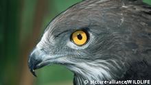 ZAF, 2002: Schlangenadler (Circaetus gallicus), Portraet. [en] Short-toed Eagle (Circaetus gallicus), portrait. | ZAF, 2002: Short-toed Eagle (Circaetus gallicus), portrait. |
