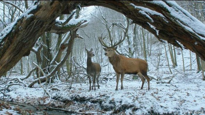 Two deer in a snowy filed in On Body and Soul (c)I. Enyedi